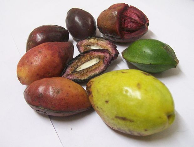 Terminalia_catappa_fruits_at_various_stages_of_ripeness-1